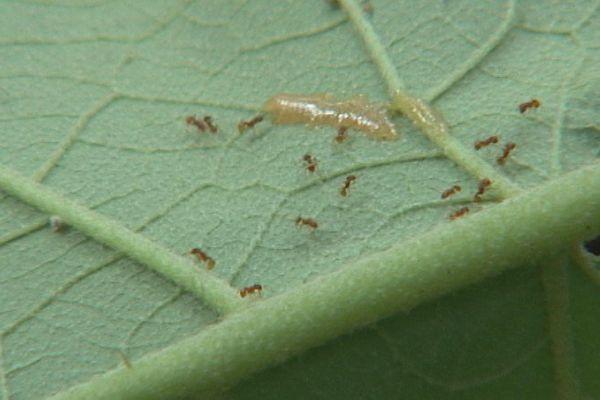 Moorea : nouvelle méthode d'éradication de la fourmi de feu
