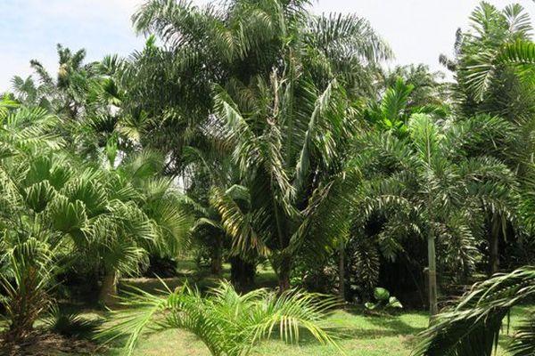 Une photo du palmetum de Macouria
