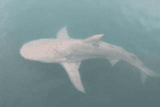 Nouméa : requin aperçu dans la petite rade