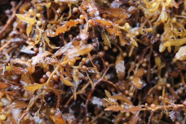 Algues sargasses