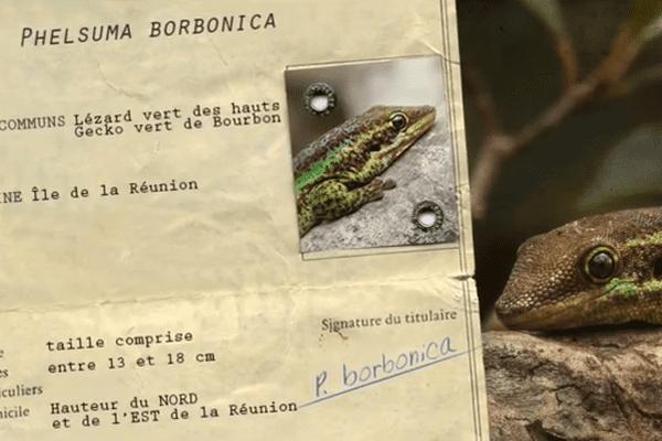 Carte d'identité du Gecko vert de Bourbon