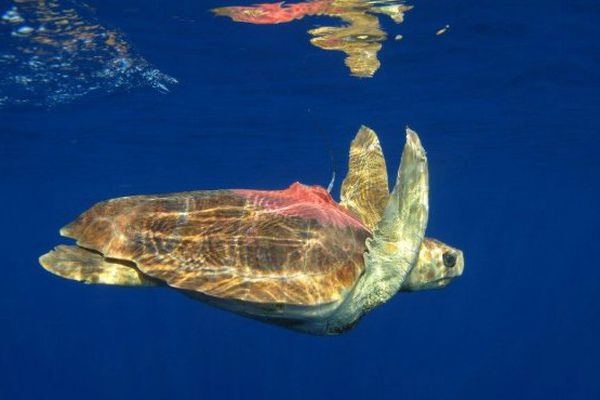 Tortue caouanne Ifremer