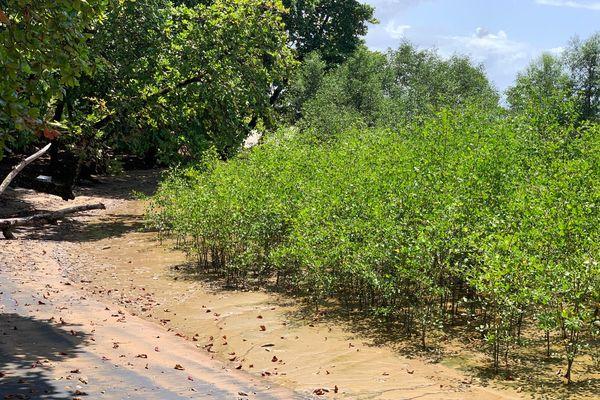 Mangrove sur la plage