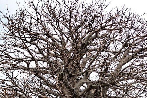 Baobab des camélias au faîte de l'arbre