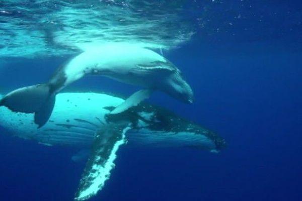 baleines et baleineau