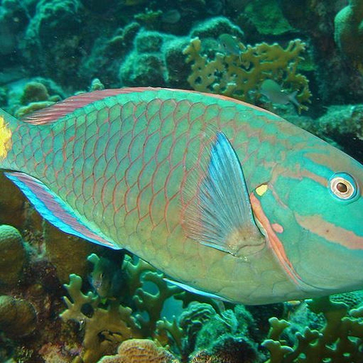 La pêche du poisson perroquet interdite à Saint-Vincent et les Grenadines