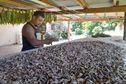 "Du kava en poudre ""made in"" Futuna"