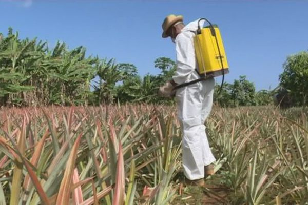 Ananas de Mayotte