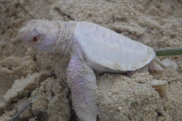 Alby, la tortue verte albinos