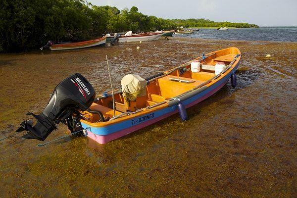 Photo prise le 28 juillet 2011 sur la commune de Saint-Anne, d'algues sargasses envahissant les côtes de la Martinique