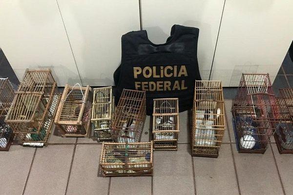 Saisie d'oiseaux sauvages protégés à Oiapoque