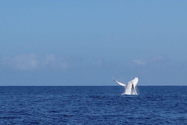Une baleine blanche observée à Tahiti