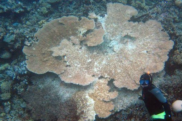 acropora hyacinthus corail