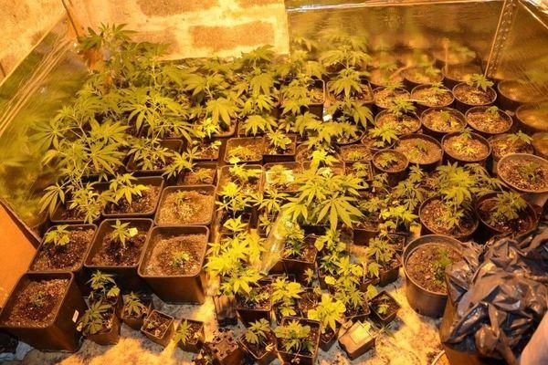 Plants cannabis cultivés indoor