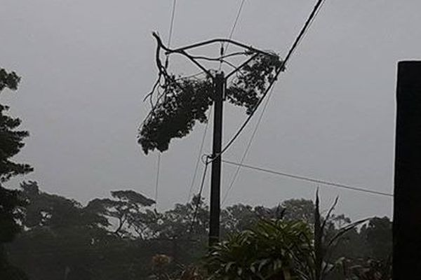 Photo arbre fil Lifou (10 avril 2017)