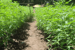 Ferme de cannabis