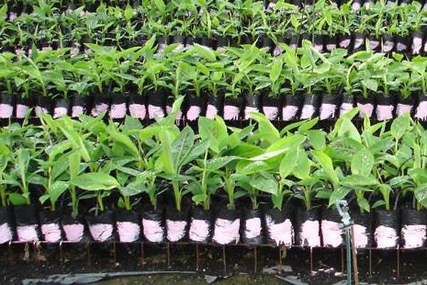 Plants sains