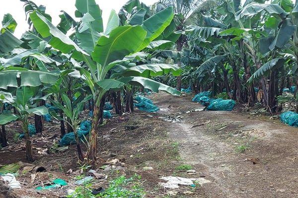 Saccage de la bananeraie de Richard Narayaninssamy - 31/12/2020
