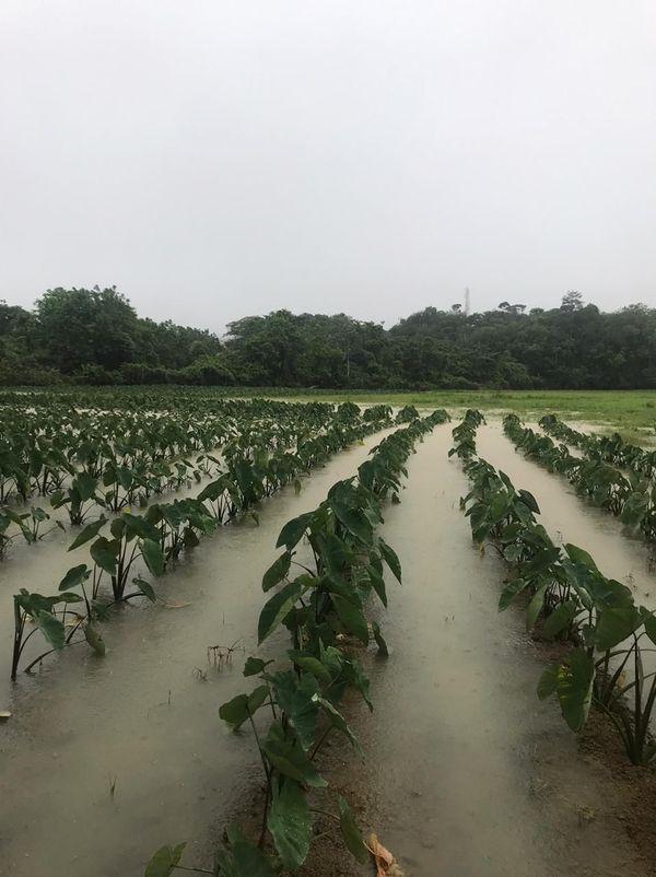 Les champs de Cacao inondés