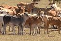 La sécheresse, véritable fléau pour les éleveurs calédoniens