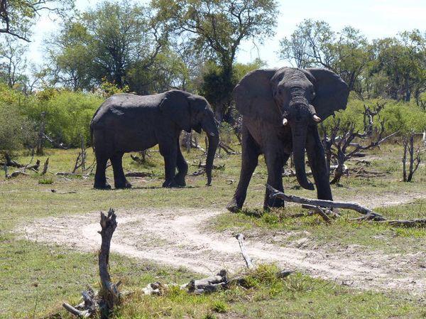 Spirit of Nouméa en Afrique éléphants au Botswana (novembre 2017)