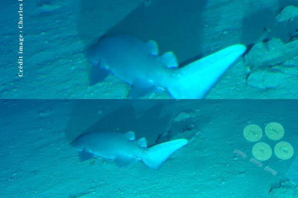 Découverte d'une nouvelle espèce de requin en Polynésie française