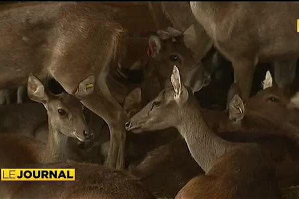 Nouvelle Calédonie : La foire du cerf