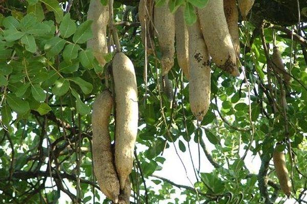 arbre a saucisses
