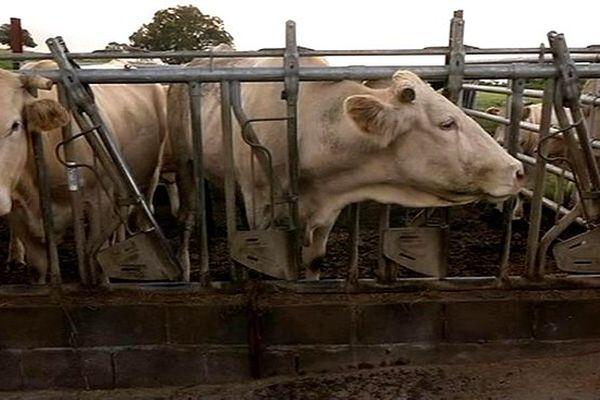 Plaine des Cafres : élevage de bovins