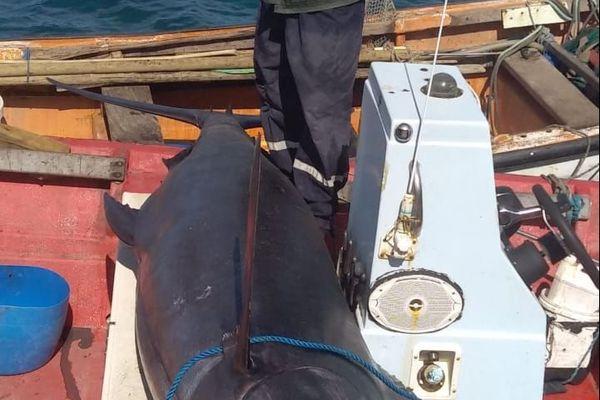 Gros marlin