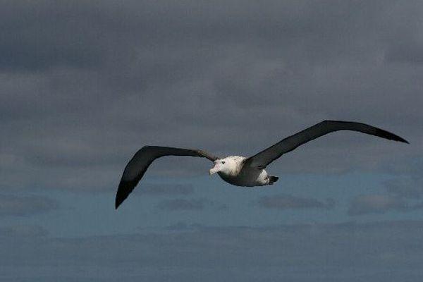 Albatros, au large de Crozet