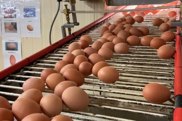 oeufs production locale