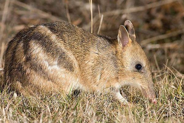 Bandicoot australien