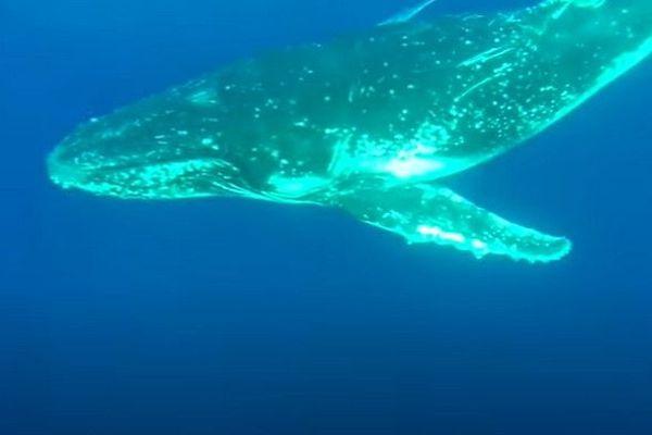 une jeune baleine s'approche d'un groupe de plongeurs 230520
