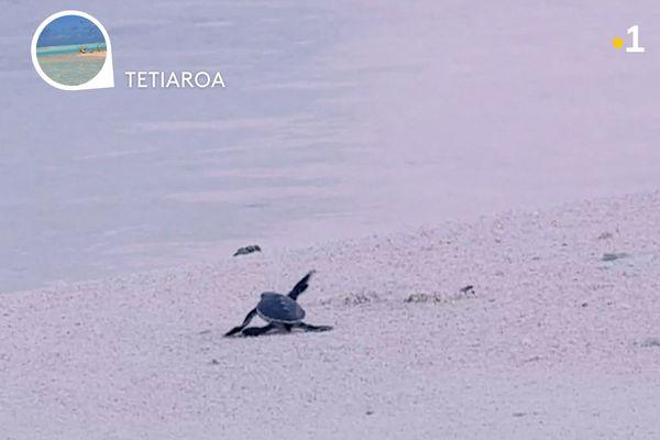 Quel est le rapport entre la pollution par le plastique des plages et le déséquilibre de la reproduction des tortues ?