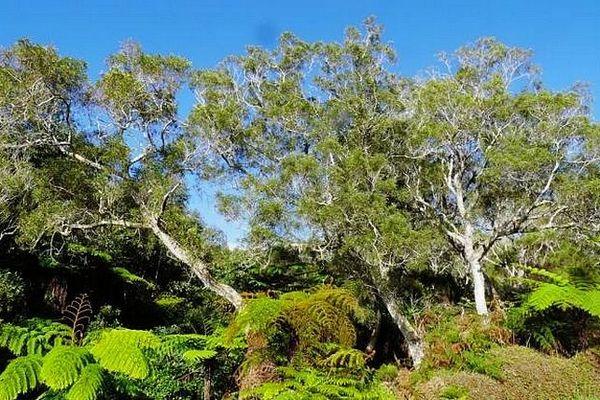 Tamarins des hauts de La Réunion