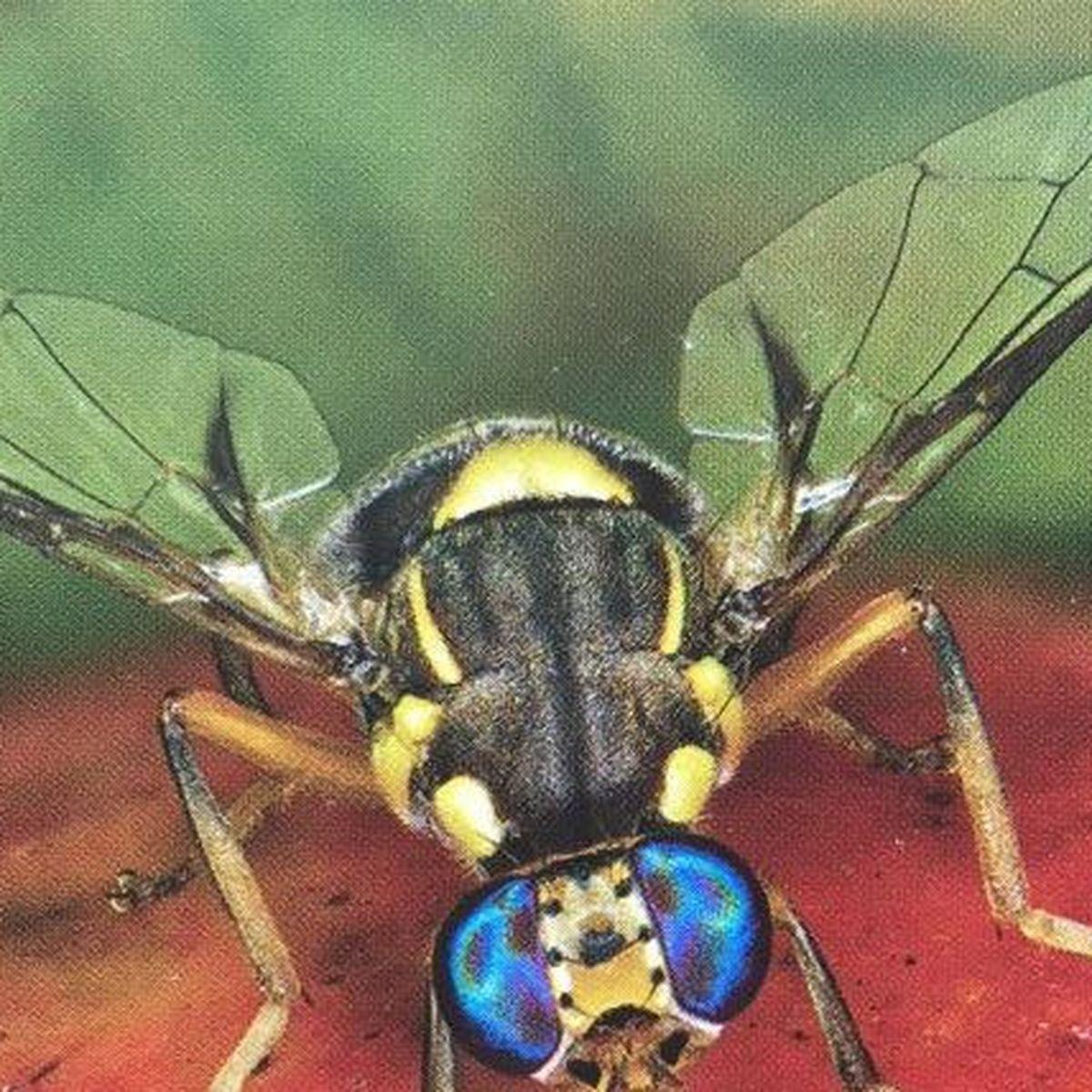 Comment Eliminer Les Moucherons Des Fruits attention à vos fruits et légumes, l'invasion des mouches