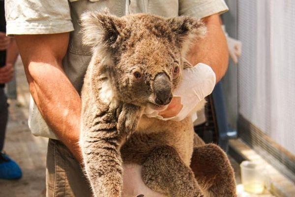 Australie : des koalas toujours soignés après les gigantesques incendies
