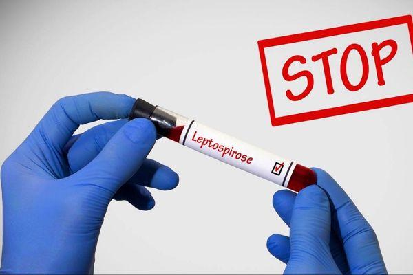 infographie leptospirose