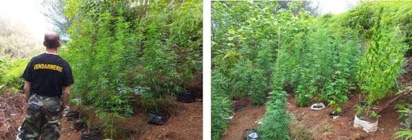 saisie de cannabis