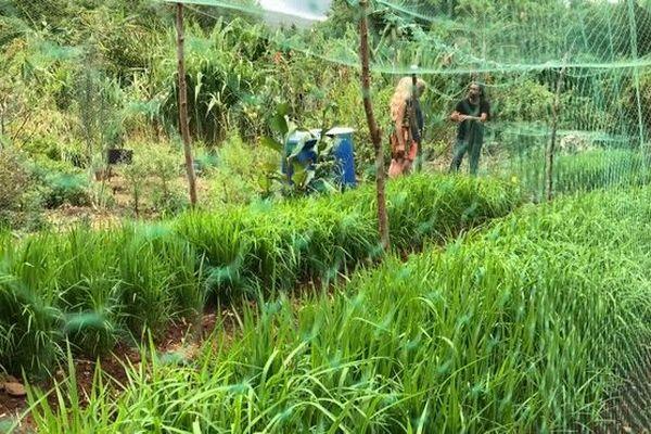 expérimentation pour production riz réunion Saint-Paul 241119