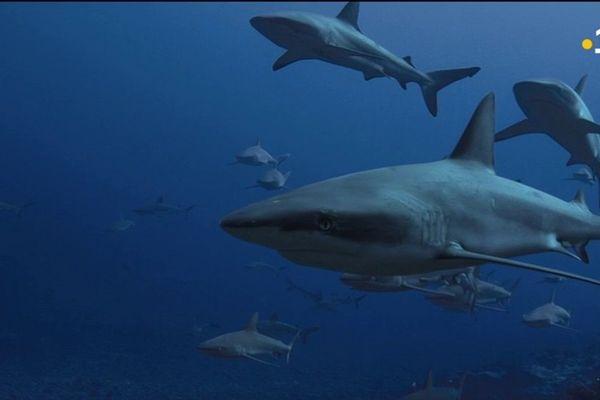 Mystère des requins