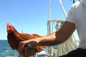 Un skipper et sa poule Monique font escale à Saint-Pierre-et-Miquelon