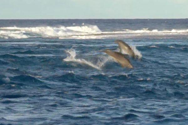 Rangiroa : des dauphins s'amusent dans la passe de Tiputa