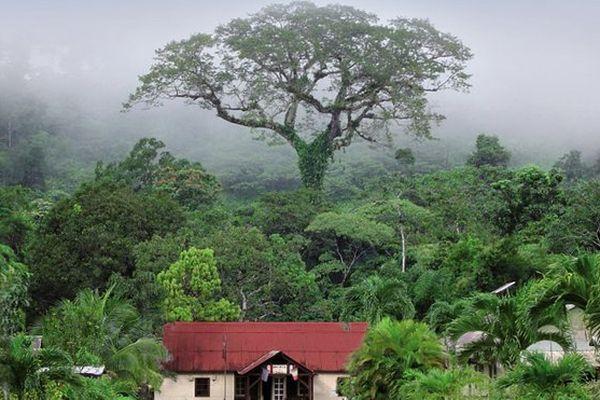 Le Banian de La Réunion et le Fromager de Guyane se disputent le titre de l'arbre de l'année 2015