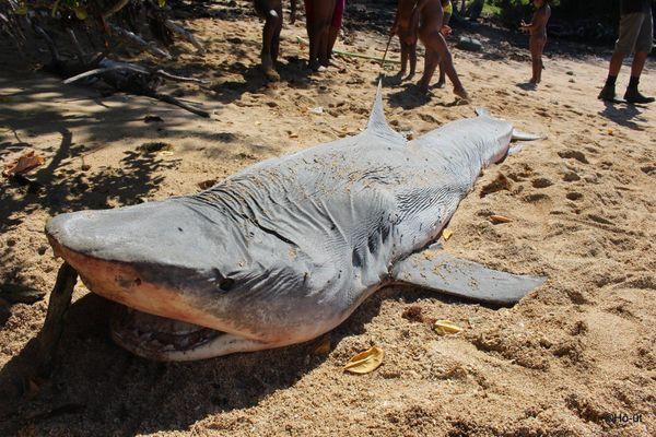 requin tigre mort échoué sur la plage