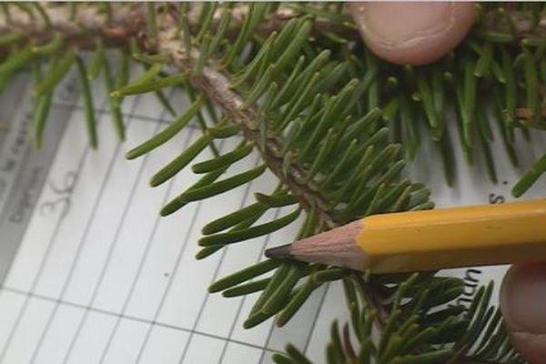 Environnement : la forêt de Miquelon menacée par un insecte