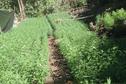 4629 pieds de paka découverts à Papara