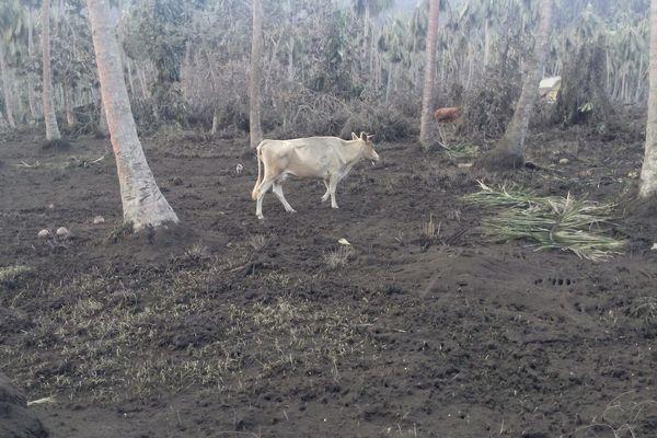 Des vaches peinent à se nourrir