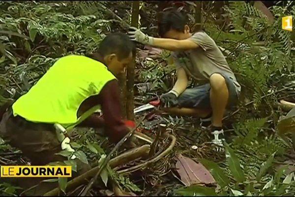 Miconia : la société d'ornithologie de Polynésie « Manu » continue la lutte